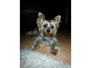 Ricy, Yorkshire terrier - Ricky