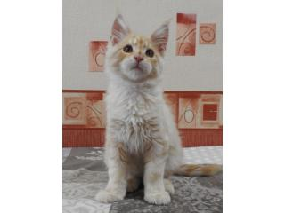 , Maine Coon
