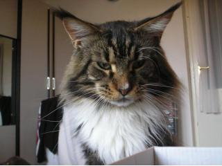[], Maine Coon