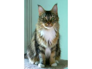 Ch. (CZ) Beyrouth Crystal, Maine Coon