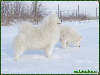 Nefertiti Midnight Benji's of White Siberian [Nefy], Samoyede