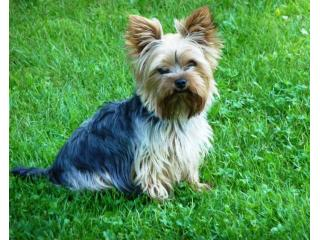 Picur, Yorkshire terrier