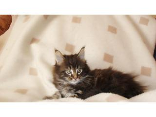 Imagine, Maine Coon