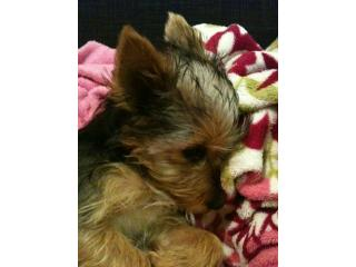 Sticky, Yorkshire terrier