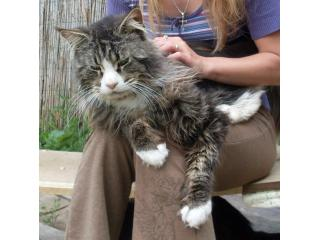 Silky Cat of Susy Cat Morgen [Morgen], Maine Coon