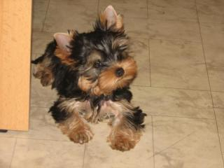 [Boldi], Mini yorkshire terrier