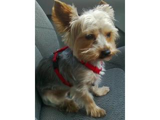Beni, Yorkshire terrier