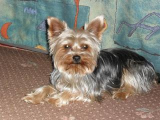 Frenky, Yorkshire terrier