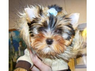 [Domika], Yorkshire terrier