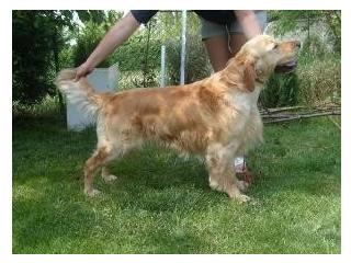[Chopin], Golden retriever