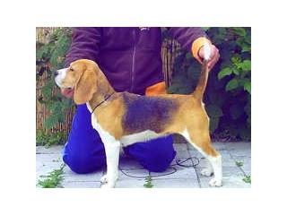 Gold Junior Inci [], Beagle