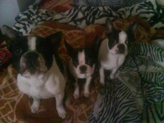 Cute Puppies of Hungary Carry - Charlotte [], Boston terrier